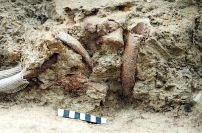 Les restes del sireni de Miralles arriben al Museu de la Pell